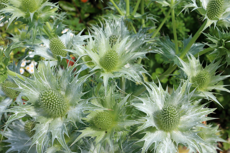 Ornamental sea holly (Eryngium species) in flower with silver grey foliage viewed from above. Stock Photo