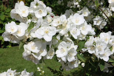 Mock orange (Philadelphus) shrub in full flower with many blooms and a lawn in the background.