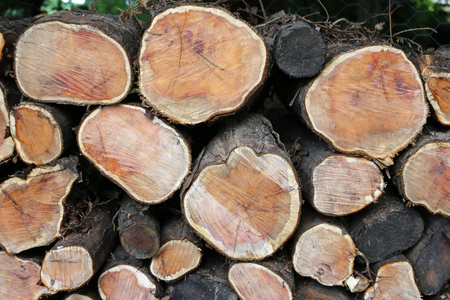 Stack of yew (Taxus baccata) logs in a wood pile with the cut ends showing the different colours in the wood grain.