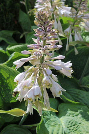Plantain lily (Hosta) growing in partial shade with pale lilac flowers and leaves in the background. Stock Photo