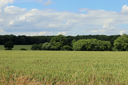 Wheat field in a countryside landscape with woodland trees and blue sky with white clouds in the background.