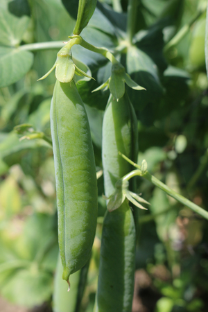 Ripe garden pea (Pisum sativum) pods hanging down from a vine with a background of leaves.