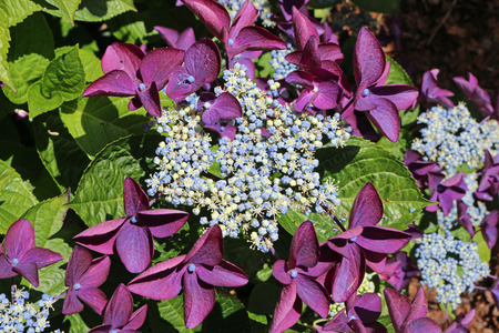 Lacecap Hydrangea flowers with pale blue and white inner and purple outer flowers with a dark background of leaves of the same plant.