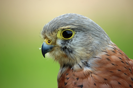 Head and shoulders of a kestrel (Falco tinnunculus) facing left with a green and brown blurred background. Stock Photo