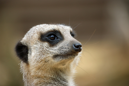 Meerkat (Suricata suricatta) head in close up facing right with a blurred brown background. Stock Photo
