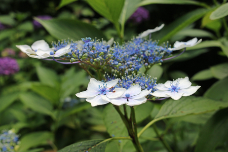 Lacecap Hydrangea flowers with pale blue inner and white outer flowers with a dark background of leaves of the same plant.