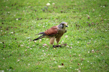 Kestrel (Falco tinnunculus) being used for falconry standing on the ground with jesses on the legs and a background of grass lawn.