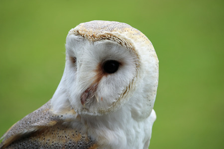 Head and shoulders of a barn owl (Tyto alba) with a green blurred background. Stock Photo