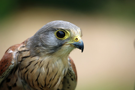 Head and shoulders of a kestrel (Falco tinnunculus) facing right with a green and brown blurred background.