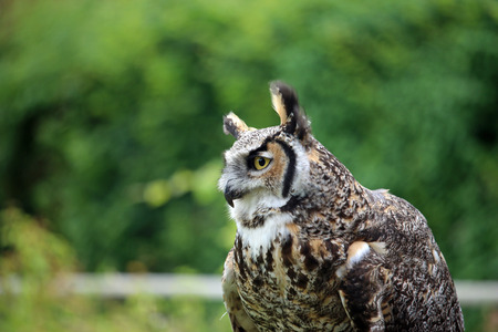 Great horned owl (Bubo virginianus) sat looking to the left in daylight with a background of blurred trees. Stock Photo