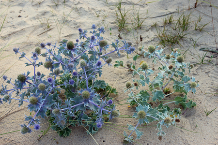 Two UK sea holly, Eryngium maritimum, plants, one grey and the other with blue leaves, stems and flowers on a sand dune with grass in the background.