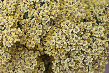 Yellow ornamental yarrow, Achillea millefolium variety Inca Gold, flowers with the focus on the centre.