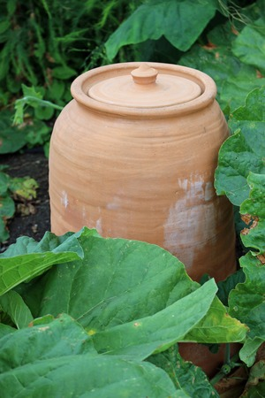 Ceramic terracotta rhubarb, Rheum x hybridum, forcing jar with closed lid and surrounded by rhubarb leaves. 写真素材 - 119948108