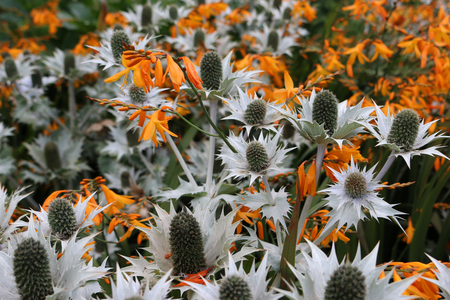 Ornamental sea holly, Eryngium, in flower with silver grey foliage mixed with orange flowering Crocosmia creating an attractive colour combination. Stock fotó