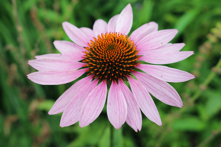 Pink and orange coneflower, Echinacea, flower with a blurred green background of leaves.