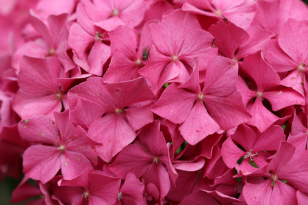 Pink mophead Hydrangea, Hydrangea macrophylla, variety King George flowers with no background.