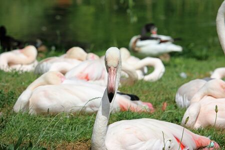 Greater flamingo, Phoenicopterus roseus, with head directly facing forward with grass, water, a duck and other flamingoes blurred in the background. Фото со стока