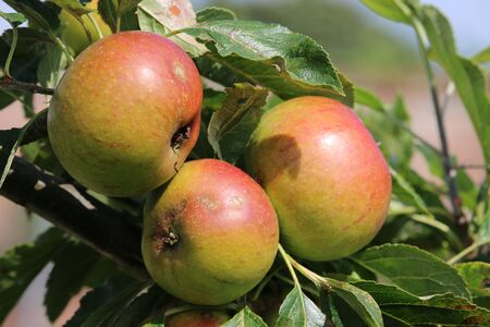 Ripe apples, Malus domestica, ready to pick from a tree in late summer with a background of leaves and a little sky showing in between the leaves.