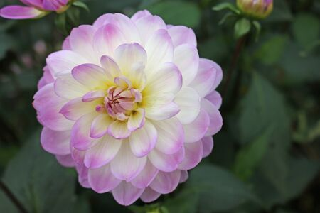 Pink and white dahlia variety Sandia Melody flower with a background of blurred leaves and flowers and good copy space.
