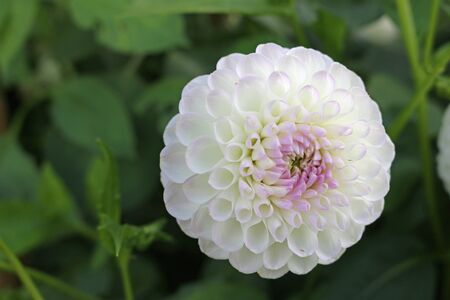 White with lilac tinge dahlia variety Josie Gott flower with a background of blurred leaves and good copy space.