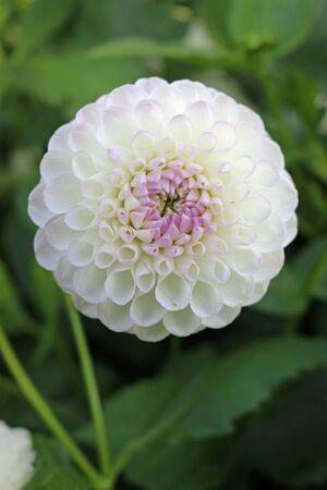 Bianco con sfumatura lilla varietà dalia Josie Gott fiore con uno sfondo di foglie sfocate e buona copia spazio.