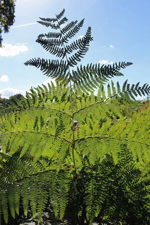 Bracken, Pteridium aquilinum, frond in the foreground rising above other fronds and a blue sky with white clouds in the background.