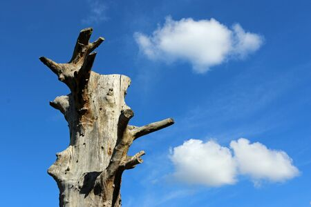Old standing dead tree with no crown, branches or bark and a background of blue sky with white clouds and good copy space.
