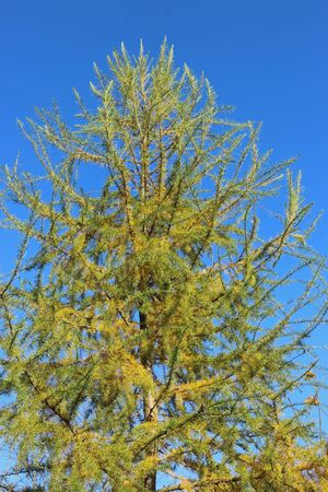 Larch, Larix decidua, tree turning yellow and losing the leaves in the autumn with a background of blue sky.