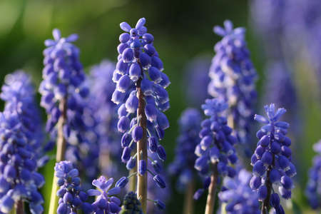 Blue grape hyacinth, Muscari armeniacum, flowers on spikes with white margins to the florets and with a blurred green background and other flowers.