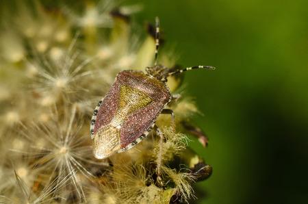 bedbug: Stink beetle sits on dandelion. The bedbug. Stock Photo