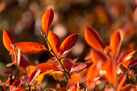 red bush: autumn leaves of red bush. Stock Photo