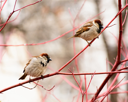 birds on branch: sparrows sitting on a tree.
