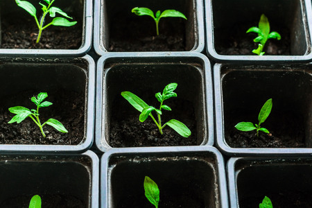 cell growth: seedling tomato in small pots which stand in a row, view from above.