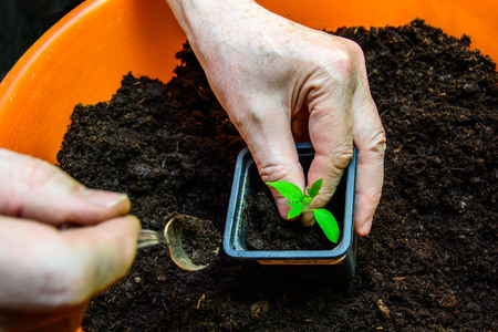 transplants: The old man engaged in transplanting tomato seedlings. Stock Photo