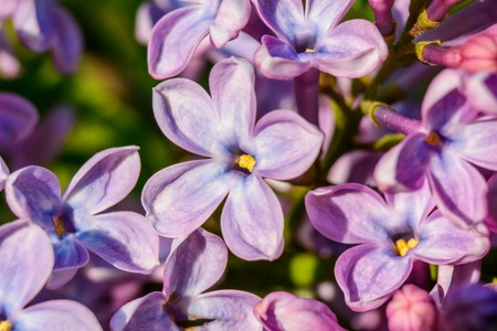 removed: beautiful lilac bush is removed using a macro. Stock Photo
