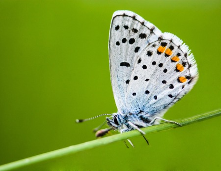 brassicae: butterfly perched on a branch and resting Stock Photo