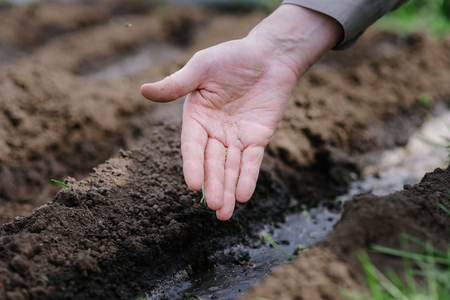 Old grandfather planting seeds in the ground