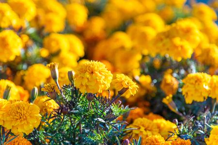 Chernobrivtsy flowers grow in a bed in the summer