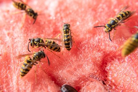 wasps sat on a fresh and juicy watermelon and began to eat it Фото со стока