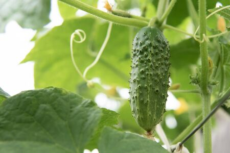 young plant of cucumbers with yellow flowers grows in the garden 写真素材 - 131822068
