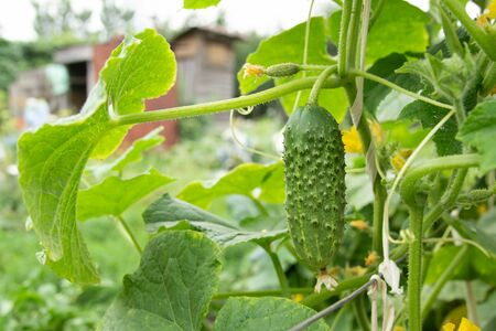 young plant of cucumbers with yellow flowers grows in the garden
