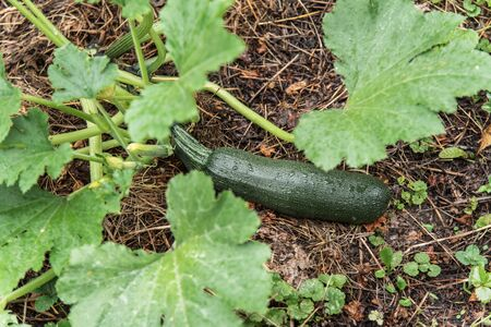 Green zucchini grows on a garden bed. 写真素材 - 131688571