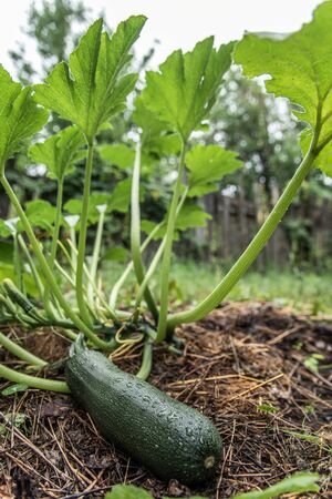 Green zucchini grows on a garden bed. 写真素材 - 131688570