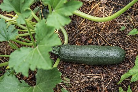 Green zucchini grows on a garden bed.