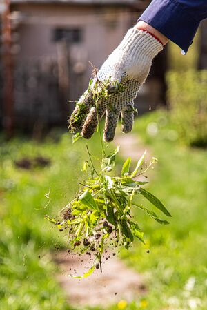 a man in gloves throws out a weed that was uprooted from his garden Imagens