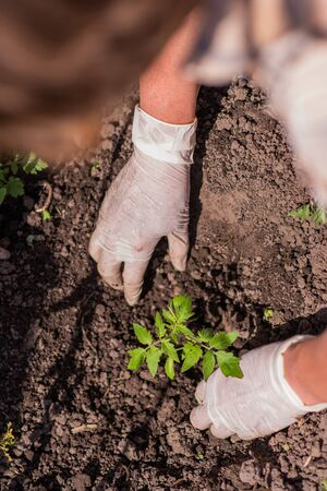 old woman inserts saplings of tomatoes in the ground in the spring