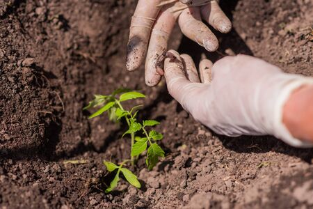 old woman gloved hands planting tomato seedlings into the ground