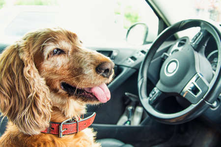 Dog breed Cocker Spaniel sitting in the car In the driver's seat at the wheel Stok Fotoğraf