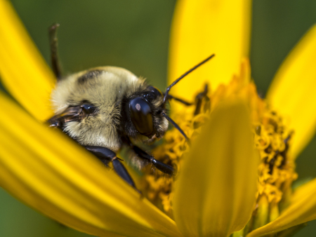 bumblebee, also written bumble bee, is any member of the bee genus Bombus, in the family Apidae Stock Photo