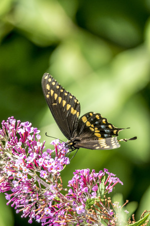 Papilio polyxenes, the eastern black swallowtail, American swallowtail or parsnip swallowtail, is a butterfly found throughout much of North America. Stock Photo